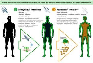 Врожденный и адаптивный иммунитеты